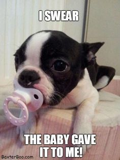 Cute Baby Boston Terrier explains her pacifier use.