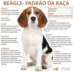Are you interested in a Beagle? Well, the Beagle is one of the few popular dogs that will adapt much faster to any home. Beagle Puppy, Vizsla Puppies, Cute Puppies, Beagles, Dogs Pitbull, Pet Paradise, Pocket Beagle, Puppy Breeds, Dog Gifts