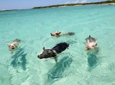 This could be you! Swim with the pigs on your next trip to The Bahamas! #SwimmingPigs  #IslandLife #CaribbeanAdventures
