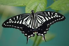Photo taken by Kerrie Gallagher at the Butterfly Place in Westford, Ma. Share it!
