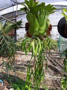 Platycerium sp. Platycerium, Staghorn Fern, Ferns, Projects, Home Decor, Deer Horns, Deer, Plants, Log Projects