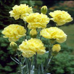 Dianthus caryophyllus Yellow