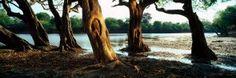 Fine Art Landscape Photography   Koos van der Lende. Waterpear Trees - Kafue National Park. © Koos van der Lende photography Tree Forest, Landscape Photography, National Parks, Van, Fine Art, Plants, Scenery Photography, Landscape Photos, Plant