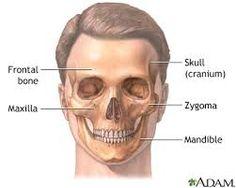 Resultado de imagen para zygomatic facial bone
