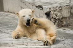 Baby yawning - I will be healed pretty gesture of baby polar bear. Animals Images, Animal Pictures, Cute Animals, Bear Cubs, Panda Bear, Baby Polar Bears, Sleepy Animals, World Best Photos, Four Legged