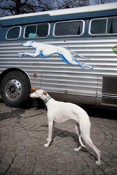 Greyhound, mítico logo de los buses americanos (visto en tantos films) y un galgo real acompañando