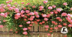 Aprenda a propagar roseiras em batatas!