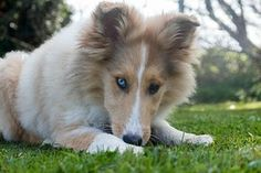 Collie, Hond, Jonge, Puppy, Liegen, Cute