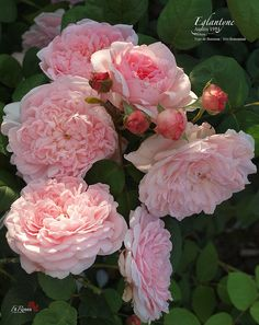 rose garden Rosa Eglantyne by FilRoses - gardencare Love Rose, Pretty Flowers, Pink Roses, Pink Flowers, Colorful Roses, Tea Roses, Exotic Flowers, Yellow Roses, Beautiful Roses