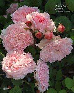 Rosa Eglantyne by FilRoses Le Temps des Roses, via Flickr