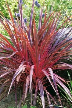 A déli bunkóliliom (Cordyline australis) gondozása - CityGreen. Tropical Landscaping, Plants, Ornamental Grasses, Foliage Plants, Architectural Plants, Bonsai Flower, Ornamental Plants, Waterwise Garden, Flower Seeds