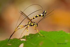 Ichneumonidae wasp