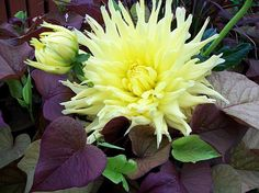 http://fineartamerica.com/featured/dahlia-and-potato-vine-sharon-duguay.html