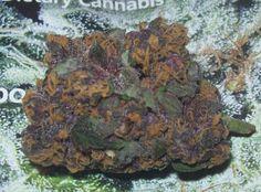 beautiful bud marijuana cannabis hbtv hemp beach tv