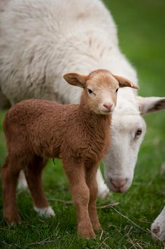 Mom sheep and little toffee colored baby lamb