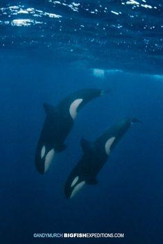 Diving orcas. Kristiansund, Norway.