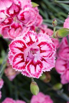 Dianthus 'Starburst'