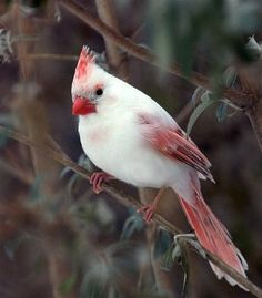 Leucistic cardinal — Leucism is an abnormal deposition of melanin. There are two general forms of leucism—pale and pied. Birds with pale leucism have feathers that appear lighter than normal. Birds with pied leucism have patches of white. Both varieties are often confused with albinism and are sometimes called partial albinism.