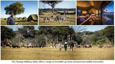 Wilderness Safaris Explorations' four-night Hwange Walking Safari is well underway for the 2017 season, offering the perfect option for adventurers looking for a truly wild and exclusive experience in Zimbabwe's renowned Hwange National Park. Zimbabwe, Wilderness, Safari, Trail, National Parks, Wildlife, Africa, Walking, Seasons