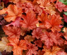 Paprika Heuchera Plant. white lacy flowers all year, rosy orange spring foliage, amber to peach summer, burgundy orange fall.