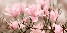 Magnolien at Posterlounge ✔ Affordable shipping ✔ Secure payment ✔ Various materials & sizes ✔ Buy your print now! Art Posters, Rose, Flowers, Plants, Magnolia, Photo Wallpaper, Pink, Roses, Flora