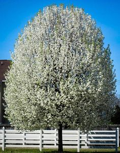 5 Ft. Cleveland Flowering Pear Tree: The Cleveland Pear is a medium-sized flowering tree reaching around 35 feet tall and just 15 feet across. It is covered in white flowers on bare branches in spring and in fall the leaves turn beautiful shades of gold, red and purple.