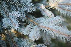 Holiday decorating hue inspiration from firs, pines, and other evergreens.