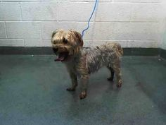 MINI (A1664260) I am a spayed female silver and gold Yorkshire Terrier. The shelter staff think I am about 2 years old. I was found as a stray and I may be available for adoption on 12/10/2014. — hier: Miami Dade County Animal Services. https://www.facebook.com/urgentdogsofmiami/photos/pb.191859757515102.-2207520000.1417772248./883850898315981/?type=3&theater