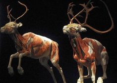 Reindeer on display, part of the Animal Inside Out exhibit making its U.S. premiere at Chicagos Museum of Science and Industry.