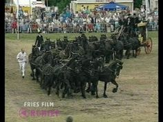 40 Friesian horses, 1 stagecoach / 40 Friese paarden, 1 koets - YouTube