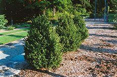 Green Mountain Boxwood (Buxus 'Green Mountain') at Minor's Garden Center