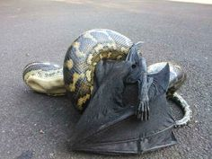 Pythons eating everything - and 36 other reasons not to go to Australia