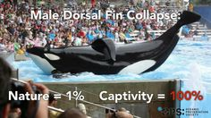 The TRUTH about male dorsal fin collapse!