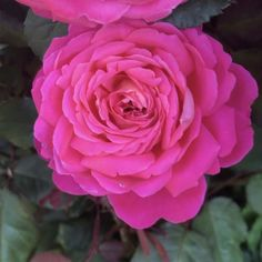 Star of The Nile™. #roses #beautiful #beauty #Oregon #summer #beautiful #beauty Pretty Roses, Beautiful Roses, Heirloom Roses, Types Of Roses, Shrub Roses, Shrubs, Oregon, Garden Ideas, Spaces