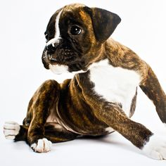 Boxer puppy Puppyhood - buy at Firebox.com