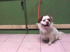 STANLEY - ID#A5059499\r\n\r\nMy name is Stanley and I am described as a neutered male, white and brown Cocker Spaniel mix\r\n\r\nThe shelter thinks I am about 4 years old.\r\n\r\nI have been at the shelter since May 10, 2017.\r\n\r\nFor more information about this animal, call:\r\nLos Angeles County Animal Control - Carson at (310) 523-9566\r\nAsk for information about animal ID number A5059499