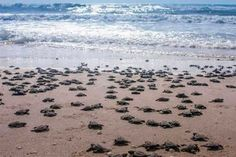 #Mexico #Oceans #SWD #GREEN2STAY 🎯⚖️🌏🤔♻️✔️💚🇲🇽🐢 Reduced human activity due to the coronavirus has been cited as the main reason why a record number of olive ridley turtles hatched.