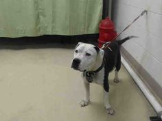 Time is up!!  05/13/16--HOUSTON- -EXTREMELY HIGH KILL FACILITY -GIRL GIRL - ID#A298188  My name is GIRL GIRL  I am a female, white and black Pit Bull Terrier mix.  The shelter staff think I am about 8 years old.  I have been at the shelter since May 12, 2016.  This information was refreshed 12 minutes ago and may not represent all of the animals at the Harris County Public Health and Environmental Services.