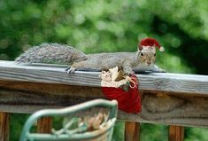 Spock, the Santa Squirrel Christmas Time, Xmas, Christmas Ornaments, Holidays And Events, Happy Holidays, Christmas Squirrel, Santa's Little Helper, Santa Claus Is Coming To Town, Cute Animals