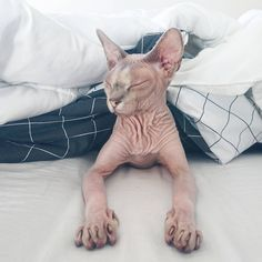 310 vind-ik-leuks, 13 reacties - Odessa & Azizi▫️Sphynx cats (@odessaandazizi) op Instagram: 'Look at our beautiful guest! Her name is Nila and she is a sweet little lady. She belongs to my…'