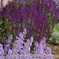 Salvia nemorosa 'Caradonna' - Back Yard Bed