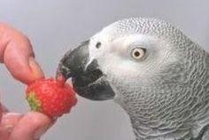 Your 60 second list of good & bad fruits for birds- Wolfie's Place Parrot Feather, Parrot Bird, Parrot Pet, Best Pet Birds, Talking Parrots, Amazon Parrot, African Grey Parrot, Parrot Toys, Conure