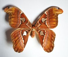 Giant Attacus Atlas Moth