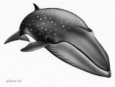 balaenoptera borealis, ballena de sei