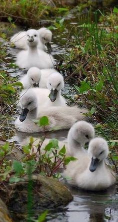 ducklings...
