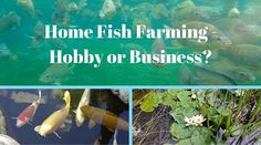 Home Fish Farming – Hobby or Business?