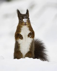 Looks like the Kaibab squirrel to me.