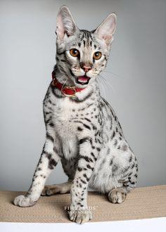 10 First Generation Savannah Cat Savannah Cat Price, Savannah Cat For Sale, Savannah Chat, African Serval Cat, Serval Cats, Exotic Cat Breeds, Exotic Cats, Exotic Fish, Savannah Cat Breeders