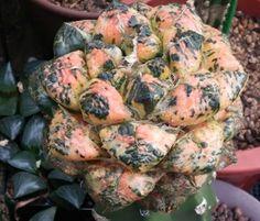 Ariccarpus fissuratus latus f. varieg