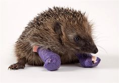 """Animal TracksThere is something uniquely touching about an animal wearing a cast, and Bootsie the hedgehog is no exception. Some kids in London found the young male struggling along with injured feet. Happily, Bootsie is now being cared for at Tiggywinkles Wildlife Hospital in England, which calls itself the """"world's busiest wildlife hospital."""" For an injured hedgehog, there is no better place to be than Tiggywinkles, which treats more than 10,000 animal injuries per day free of charge."""